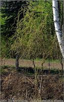 Salix 'Erythroflexuosa' - Wierzba płacząca, pogięta