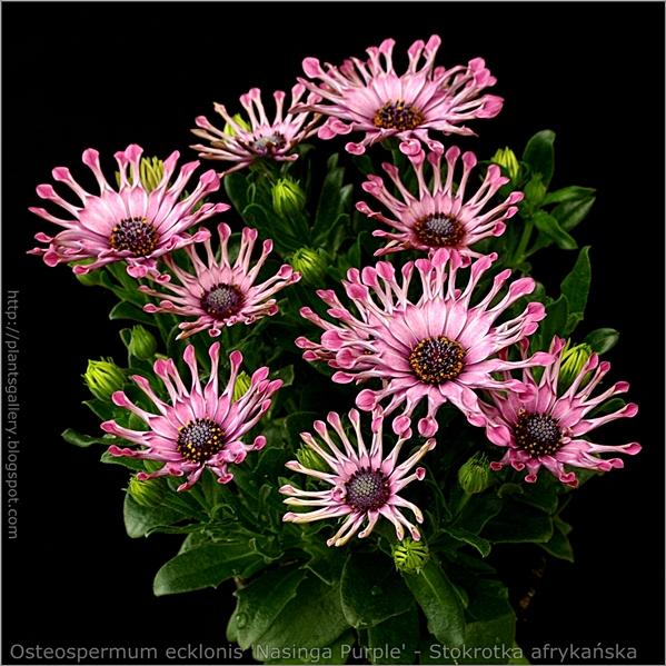 Osteospermum ecklonis 'Nasinga Purple' - Osteospermum, Stokrotka afrykańska pokrój