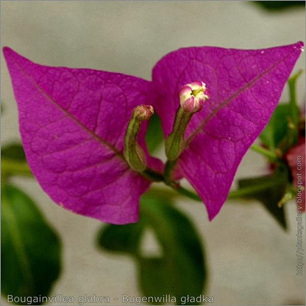 Bougainvillea glabra flower - Bugenwilla gładka kwiat