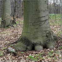 Fagus sylvatica - Buk zwyczajny asada pnia