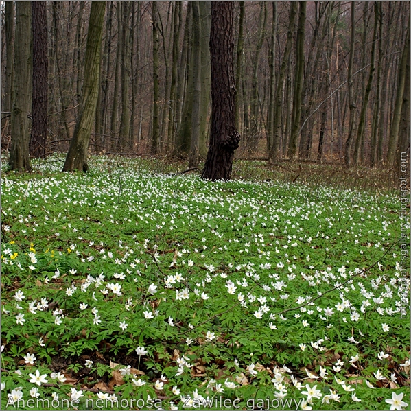 Anemone nemorosa - Zawilec gajowy na naturalnym stanowisku w lesie mieszanym z przewagą buka