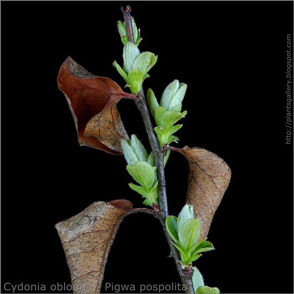 Cydonia oblonga young leaf - Pigwa pospolita młode liście
