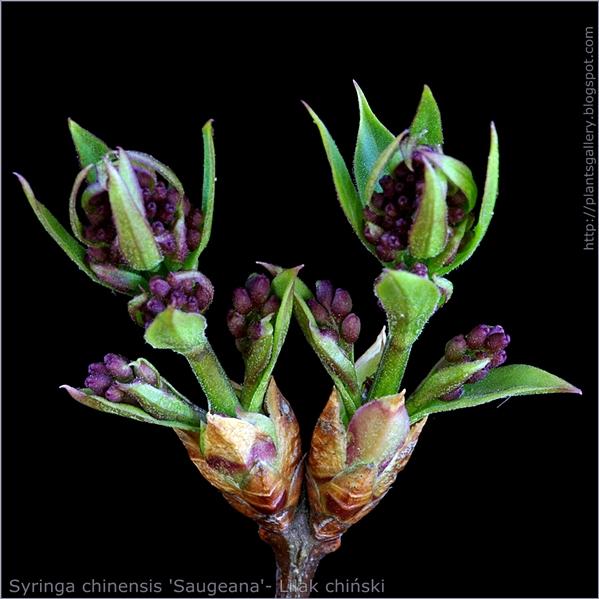 Syringa chinensis 'Saugeana' flower bud - Lilak chiński pąki kwiatowe
