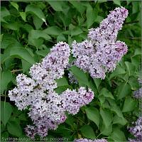 Syringa vulgaris flower - Lilak pospolity kwiaty