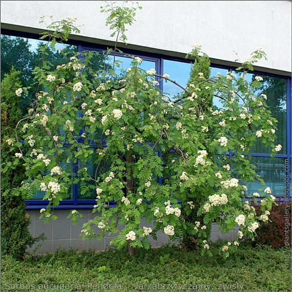 Sorbus aucuparia 'Pendula' - Jarząb zwyczajny, zwisły pokrój w okresie kwitnienia