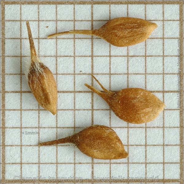 Clematis tangutica seed - Powojnik tangucki nasiona