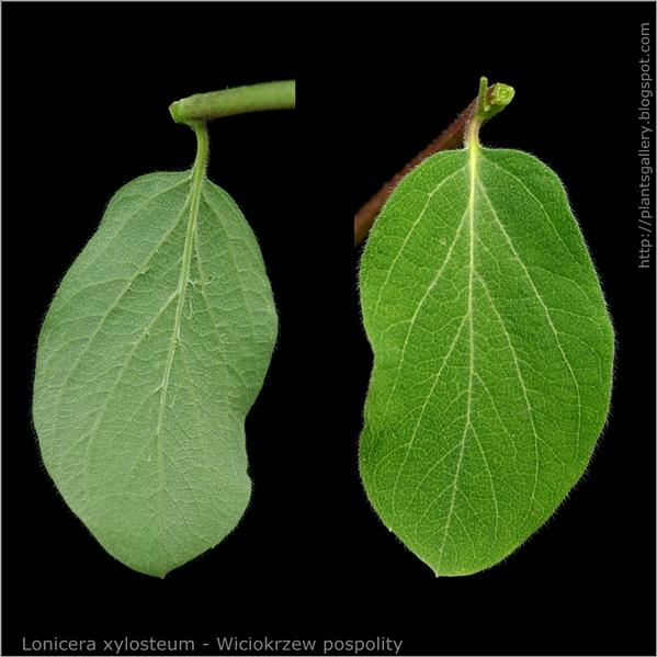 Lonicera xylosteum leaf - Wiciokrzew pospolity liść