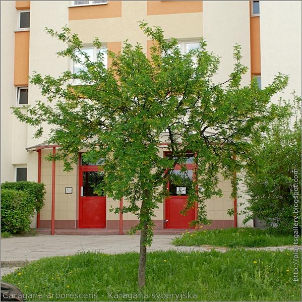 Caragana arborescens - Karagana syberyjska pokrój w okresie kwitnienia