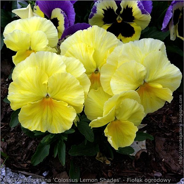 Viola wittrockiana 'Colossus Lemon Shades' - Fiołek ogrodowy, bratek - pokrój