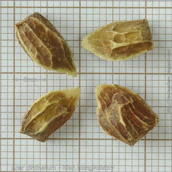 Acer circinatum seed - Klon okrągłolistny nasiona