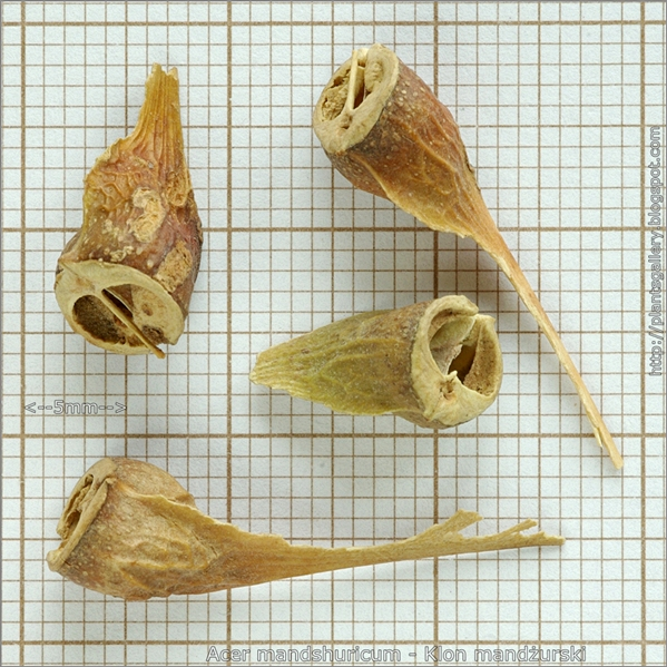 Acer mandshuricum seed - Klon mandżurski nasiona