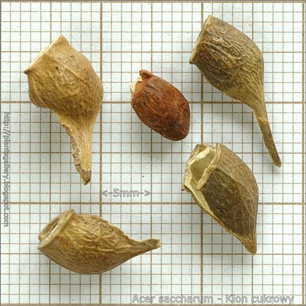 Acer saccharum seed - Klon cukrowy nasiona