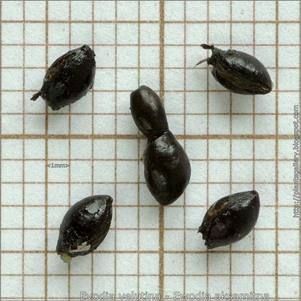 Evodia velutina seed - Ewodia aksamitna nasiona
