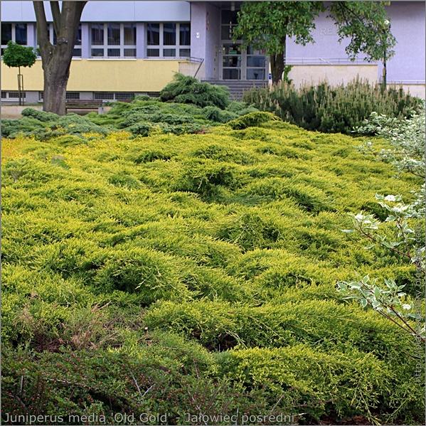 Juniperus media 'Old Gold' - Jałowiec pośredni 'Old Gold' przykład wykorzystania w zieleni miejskiej