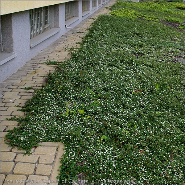Plant gallery encyklopedia ro lin cotoneaster - Cotoneaster procumbens queen of carpets ...