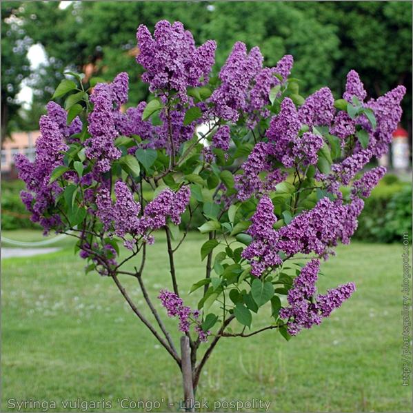 Syringa vulgaris 'Congo' - Lilak pospolity pokrój korony