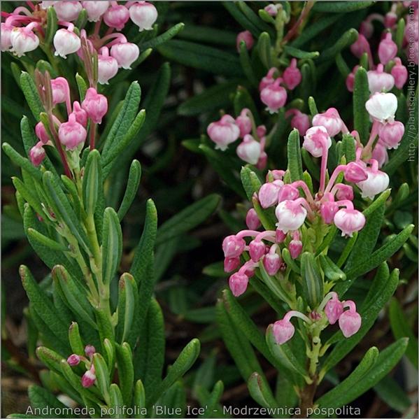 Andromeda polifolia 'Blue Ice' flower and flower bud - Modrzewnica pospolita kwiaty i pąki kwiatowe