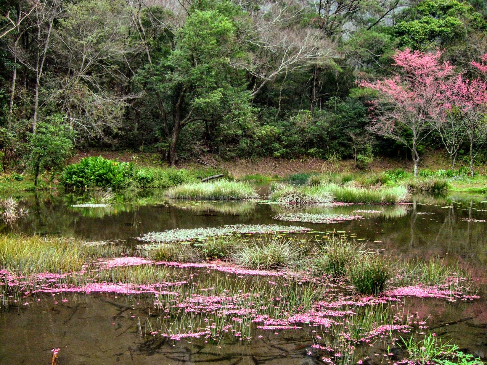 櫻花落在湖面上...