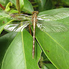 Clubtail Dragonfly, teneral female