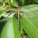Clubtail Dragonfly, teneral female