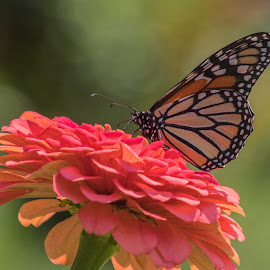 Monarch III by Judy Florio - Animals Insects & Spiders (  )