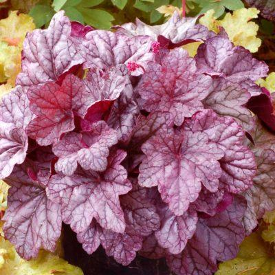 Heuchera 'Sugar Plum' | TERRA NOVA® Nurseries, Inc.