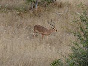 Photo: Etoschapark, Impala