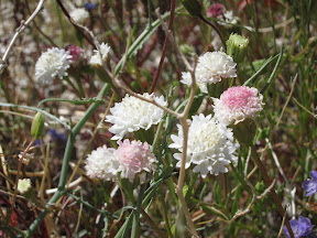 Desert Pincushion in Indian Valley - Anza Borrego
