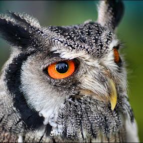 little owl by Nic Scott - Animals Birds ( bird, owl,  )