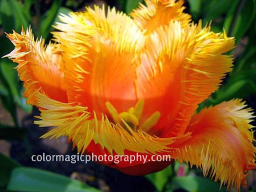 Orange fringed tulip-macro photo