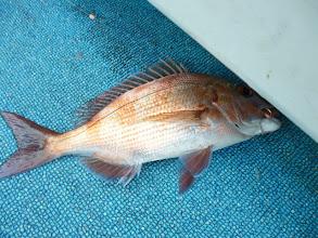 Photo: 真鯛。 ちょっと小ぶり。