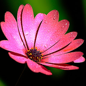 Freeway Daisy. by Dave  Horne - Flowers Single Flower