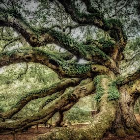 Charleston Angel Oak by Mike Moss - Uncategorized All Uncategorized