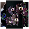 Black Orchid Wallpaper