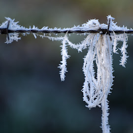 Frost by Marco Bertamé - Nature Up Close Other Natural Objects ( white, frost, barbed wire, frozen, frosty )