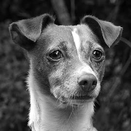 Judy in B&W by Chrissie Barrow - Black & White Animals ( mono, greys, monochrome, animal, black and white, portrait, dog, pet )