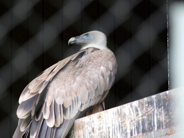 Samica sępa płowego z poznańskiego Nowego Zoo