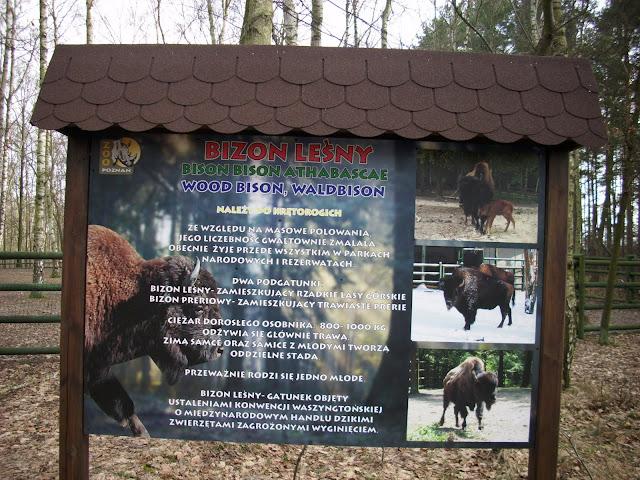Nowa tablica informacyjna przy wybiegu bizonów leśnych