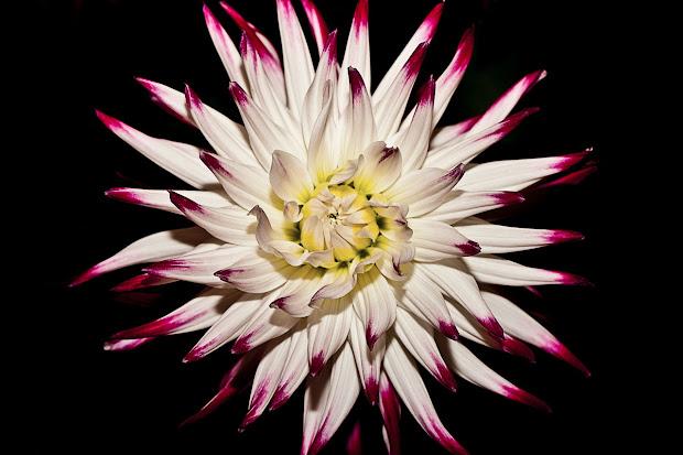 i'désir fleur de bach
