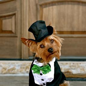 Buddy O'Malley by Sandra Millsap - Animals - Dogs Portraits ( tuxedo, yorkie, st. patrick's day, dog )