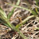 Needham's Skimmer Dragonfly