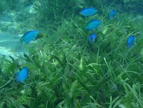 Photo: Pomacentrus sp, (Blue Pomacentrus Damselfish), Siquijor Island, Philippines