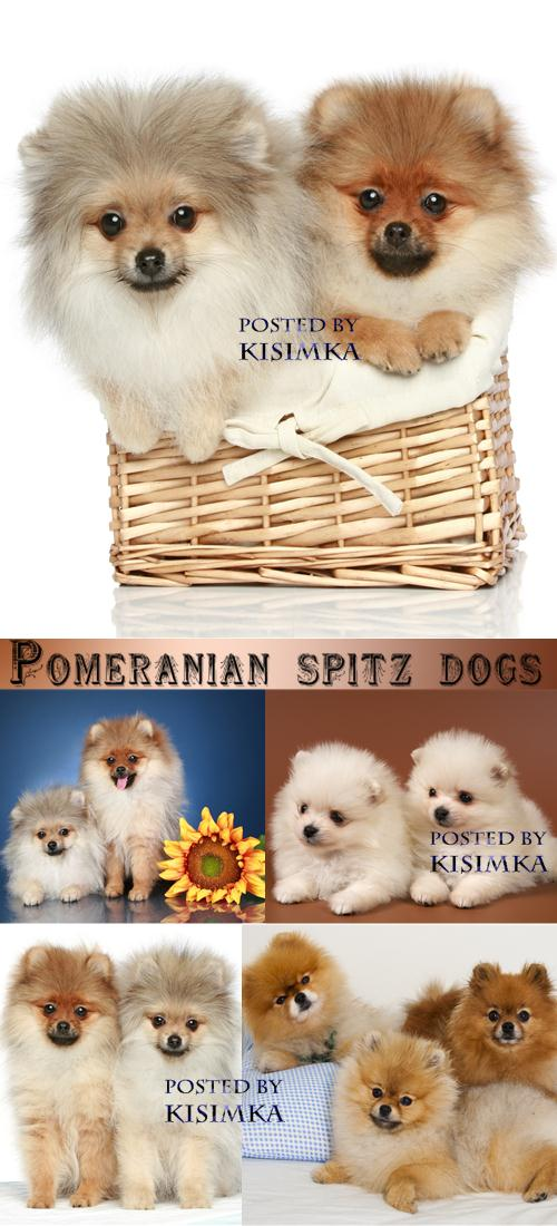Stock Photo: Pomeranian spitz dogs