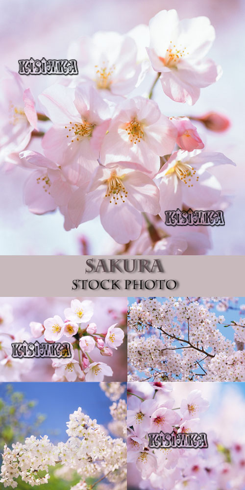Stock Photo:Sakura 6