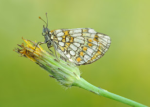 Photo: Melitaea Athalia, Mélitée Du Mélampyre, Heath Fritillary  http://lepidoptera-butterflies.blogspot.com/
