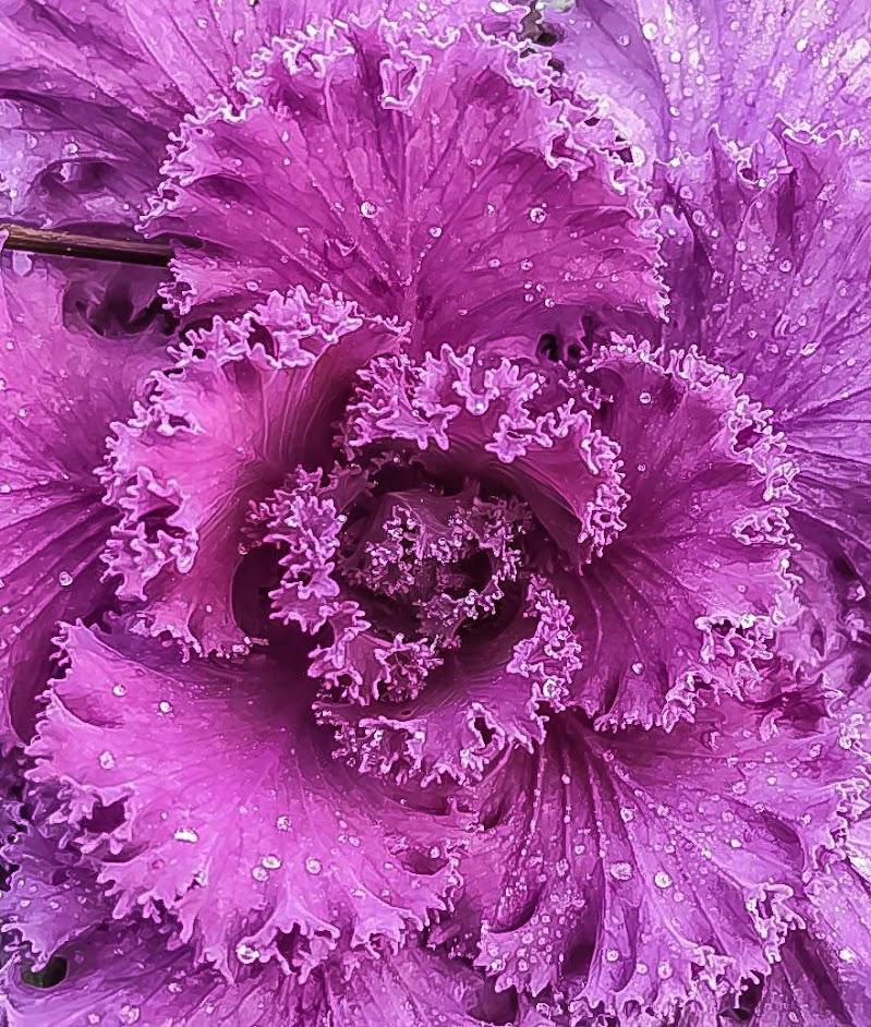 Pinkflower. di M47OH