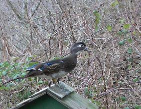 Photo: Wood Duck, Reifel Bird Sanctuary, B.C.