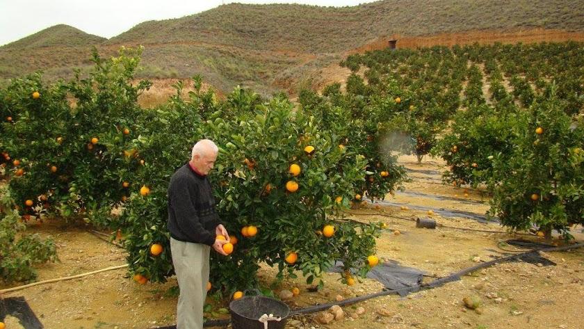 La climatología ha favorecido el incremento del aforo de naranja durante este año.