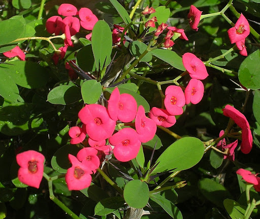 Flor Corona de Cristo Euphorbia milii Caracas, Venezuela