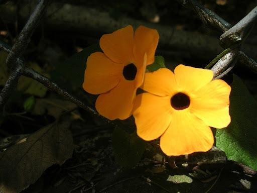 Flor silvestre anaranjada, Caracas, Venezuela